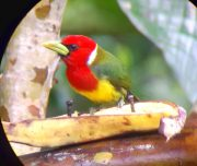 red head bird in mindo birdwatching