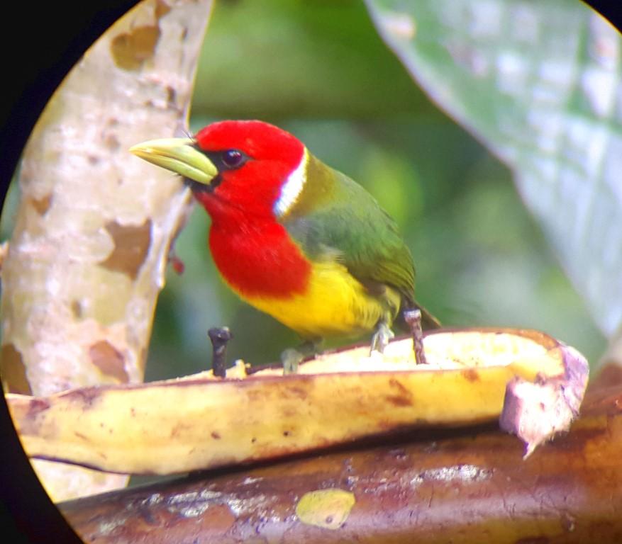 red head bird in mindo birdwatching