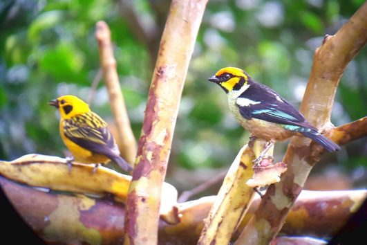 birds in mindo ecuador tour