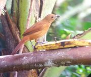 brown bird in mindo ecuador