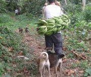 Caimito Banana Trip