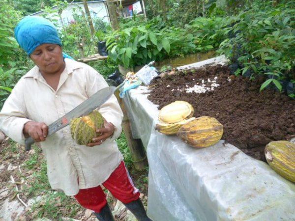 Cacao machete opening in Caimito