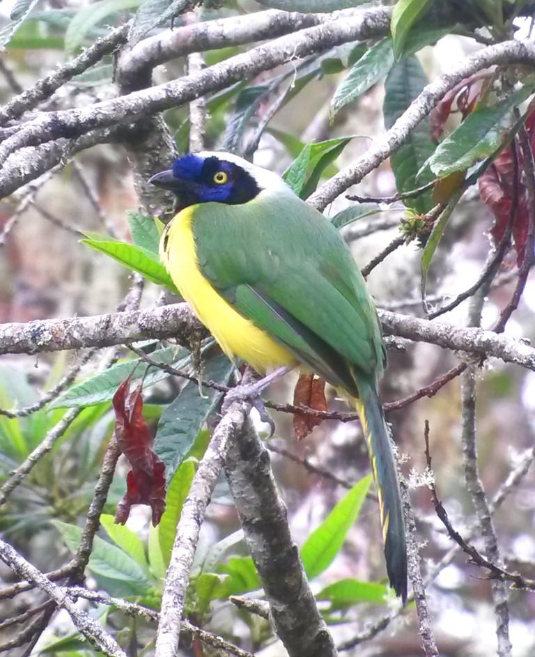 厄瓜多尔Mindo照片观鸟之旅