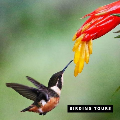 Ecuador | Choco Andino Bird Photography Tour – 7 days
