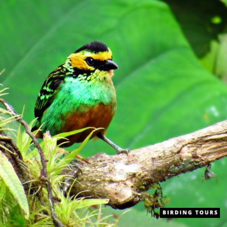 Golden-eared Tanager-dana