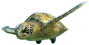 galapagos-sea-turtule