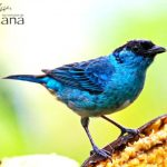 2 Golden naped Tanager posteada - Birdwatching Galapagos Cruises