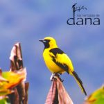 24 Yellow tailed Oriole -
