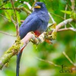 4 Choco Trogon or Blue tailed Trogon posteada - Birdwatching Galapagos Cruises