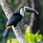 White throated Toucan -