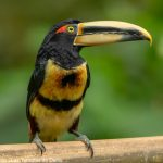 Collared Aracari Toucan - Birdwatching Galapagos Cruises