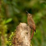 Plain brown Woodcreeper - Birdwatching Galapagos Cruises