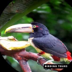 Aracari Toucan -