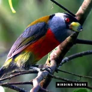 Toucan Barbet Tandayapa -